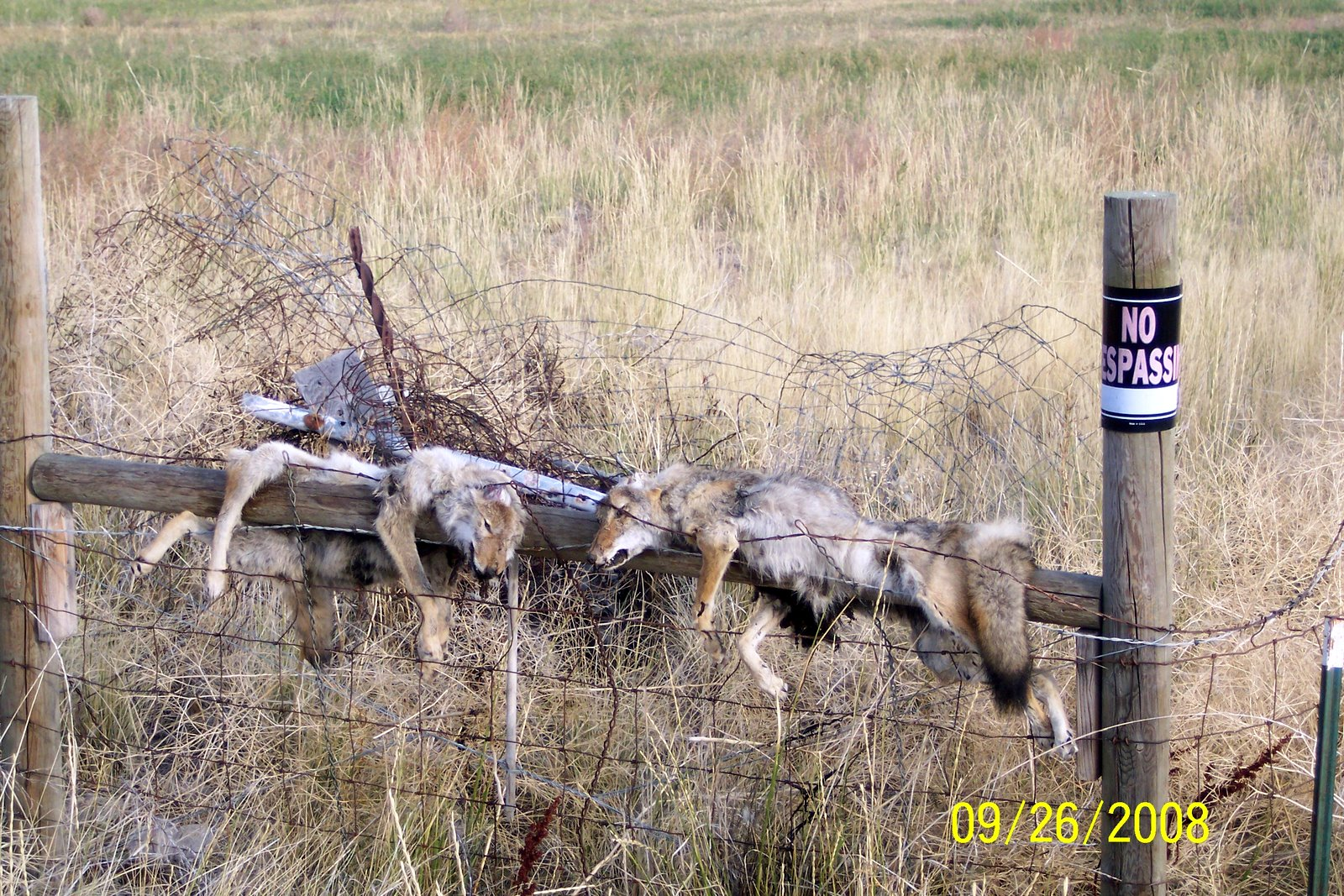 UNKNOWN HUNTER PLACED THESE COYOTES ON S/E CORNER POST. PEEVED CYCLIST TOOK PICTURE WHICH APPEARED IN HERALD JOURNAL.